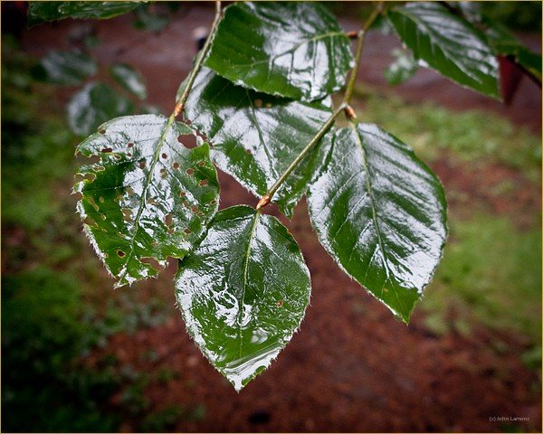 Leaves catching rain