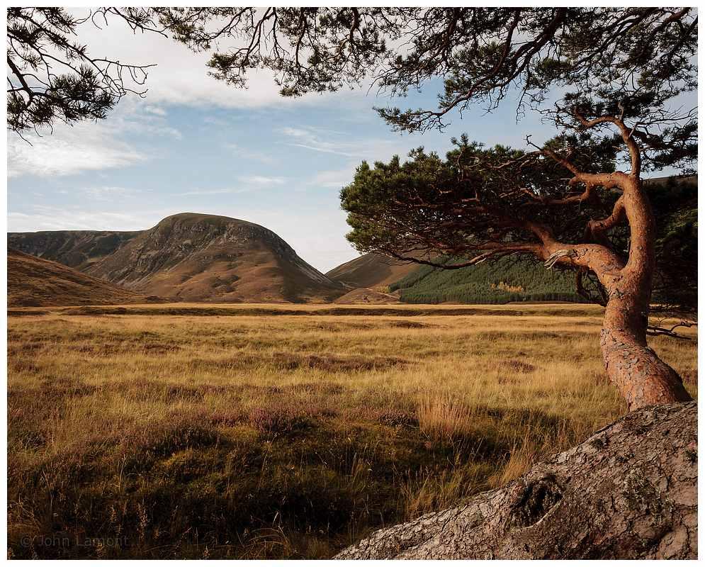 Scots pine , Glen Feshie