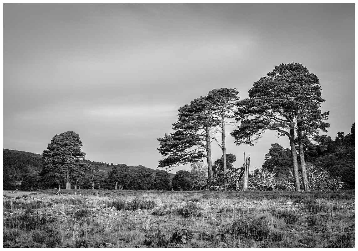 Winter toll on Scots pine, Glen Feshie