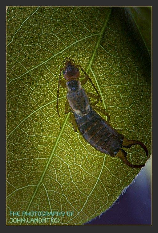 Earwig on a leaf