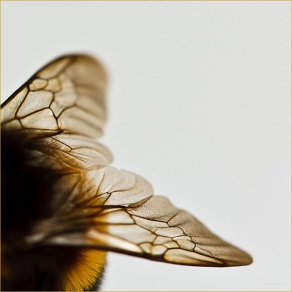 Wings of a bumble bee