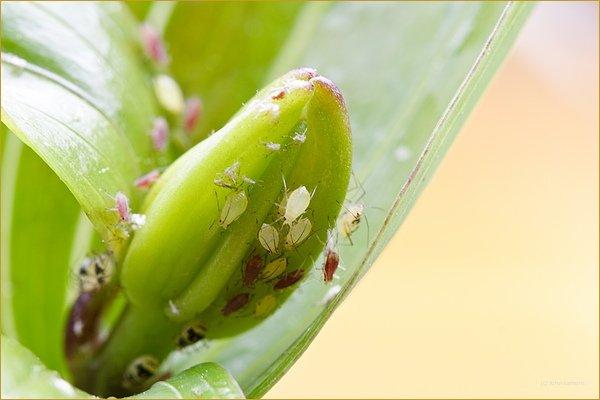 Greenfly living around flower bud