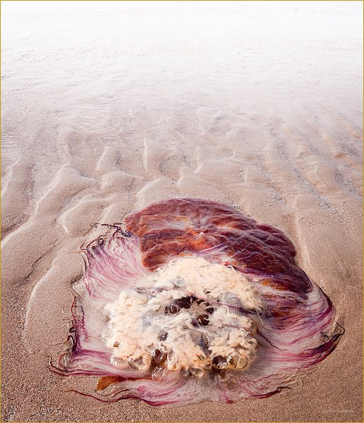 Jellyfish stranded on beach