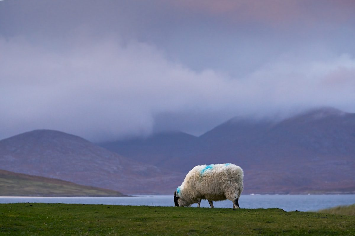 Harris sheep